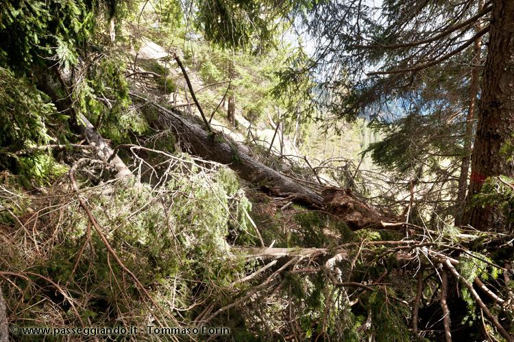 alberi di traverso al sentiero